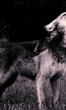 56359壁紙のダウンロード動物, 狼, 遠吠え, 吠える, プレデター, 捕食者, Bw, Chb-スクリーンセーバーと写真を無料で