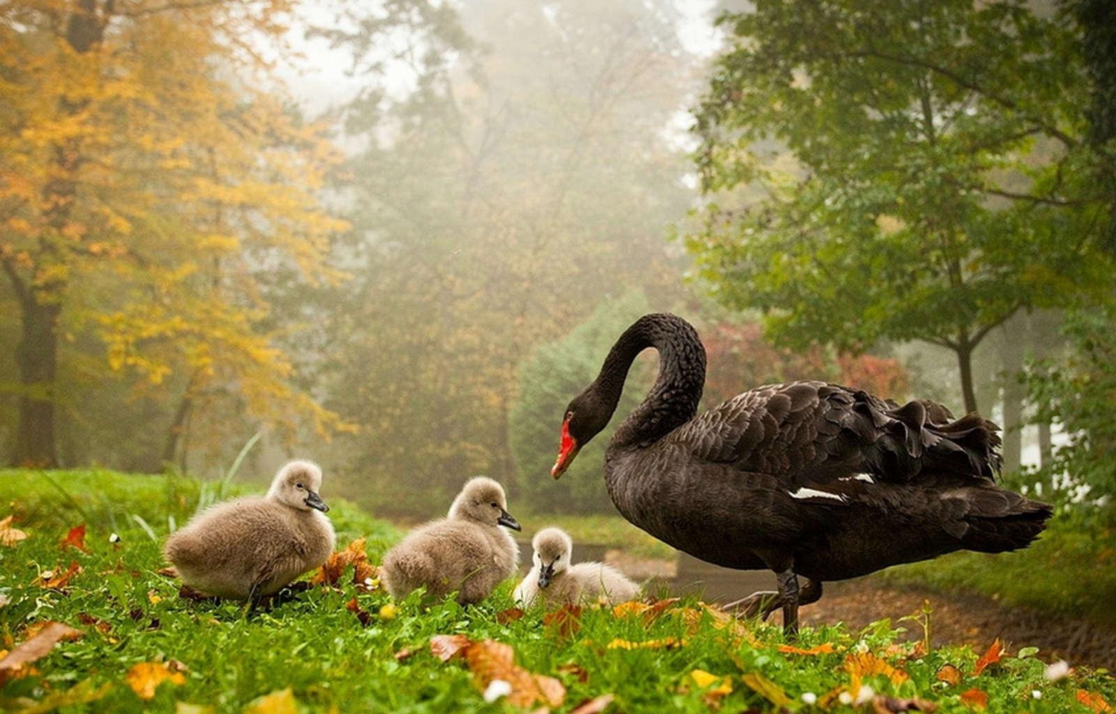 33816 download wallpaper Animals, Birds, Swans screensavers and pictures for free
