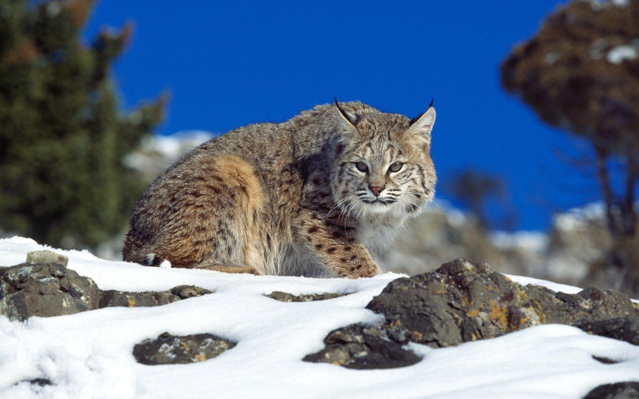 135140 скачать обои Животные, Снег, Небо, Камни, Ирис, Опасность - заставки и картинки бесплатно