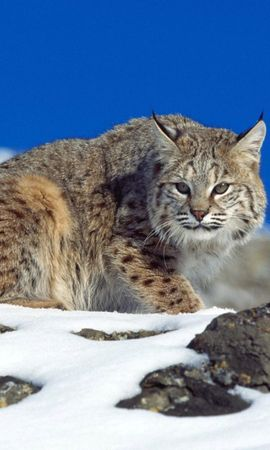 135140 download wallpaper Animals, Snow, Sky, Stones, Iris, Danger screensavers and pictures for free