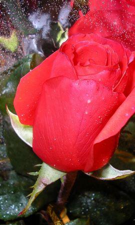 2636 скачать обои Растения, Цветы, Розы - заставки и картинки бесплатно