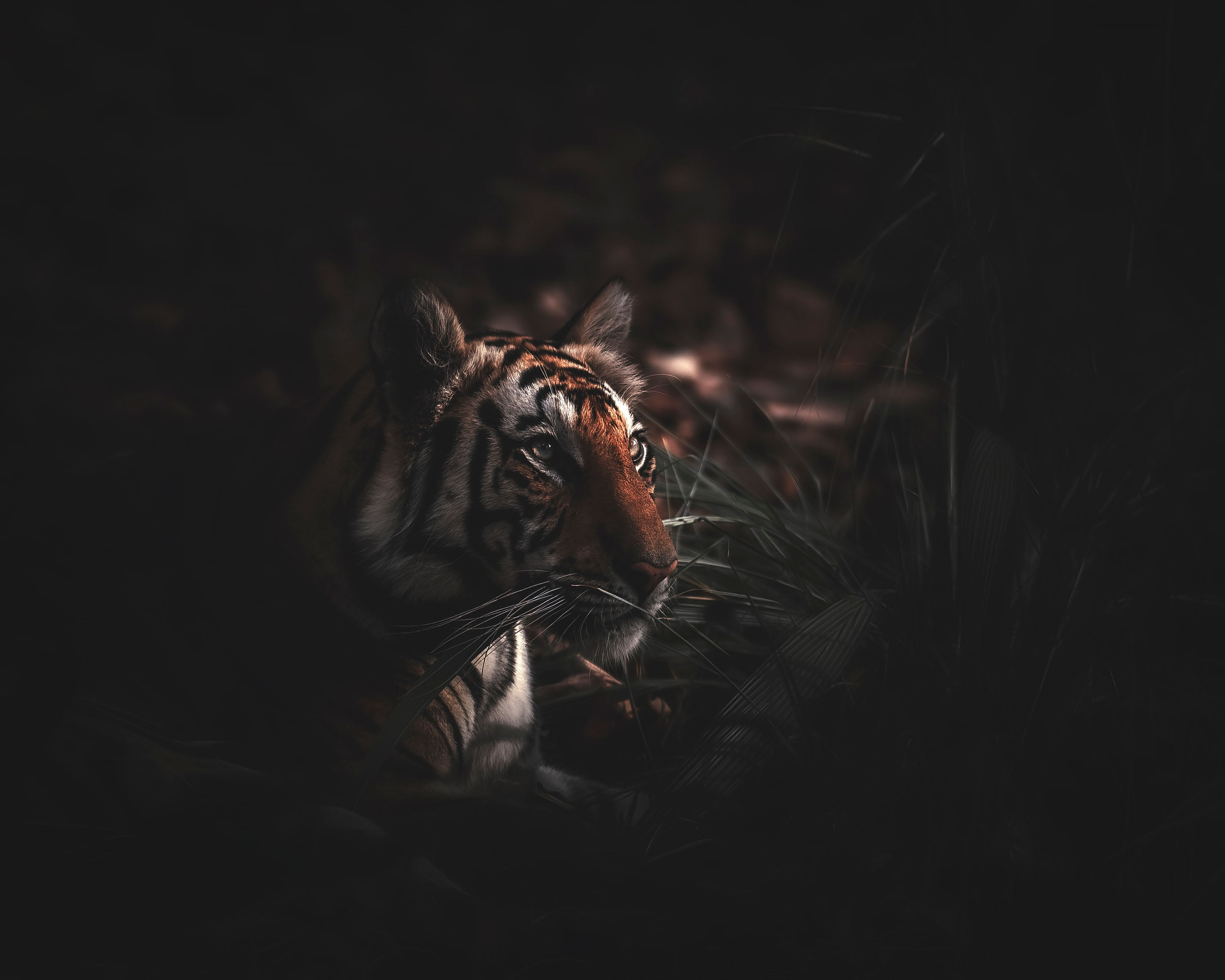 101277 download wallpaper Animals, Tiger, Predator, Grass, Big Cat, Wildlife screensavers and pictures for free