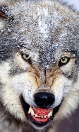 1747 download wallpaper Animals, Wolfs screensavers and pictures for free