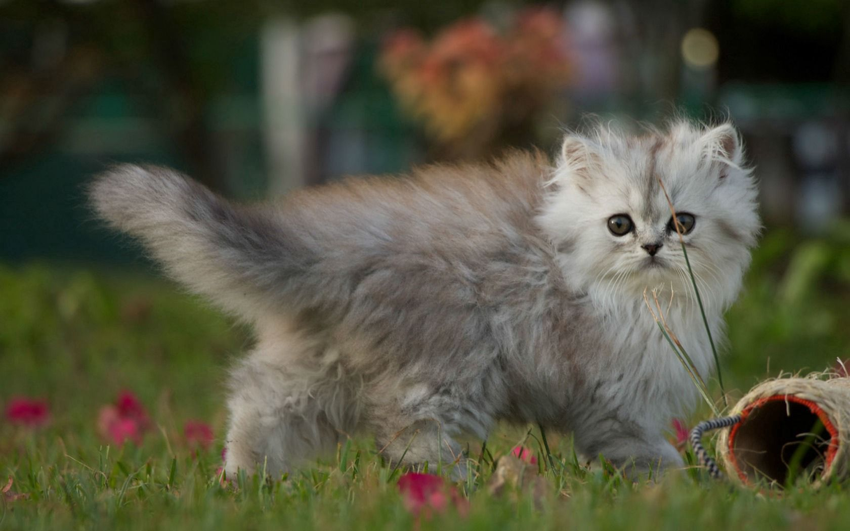 87382 Screensavers and Wallpapers Kitten for phone. Download Animals, Fluffy, Kitty, Kitten, Stroll pictures for free