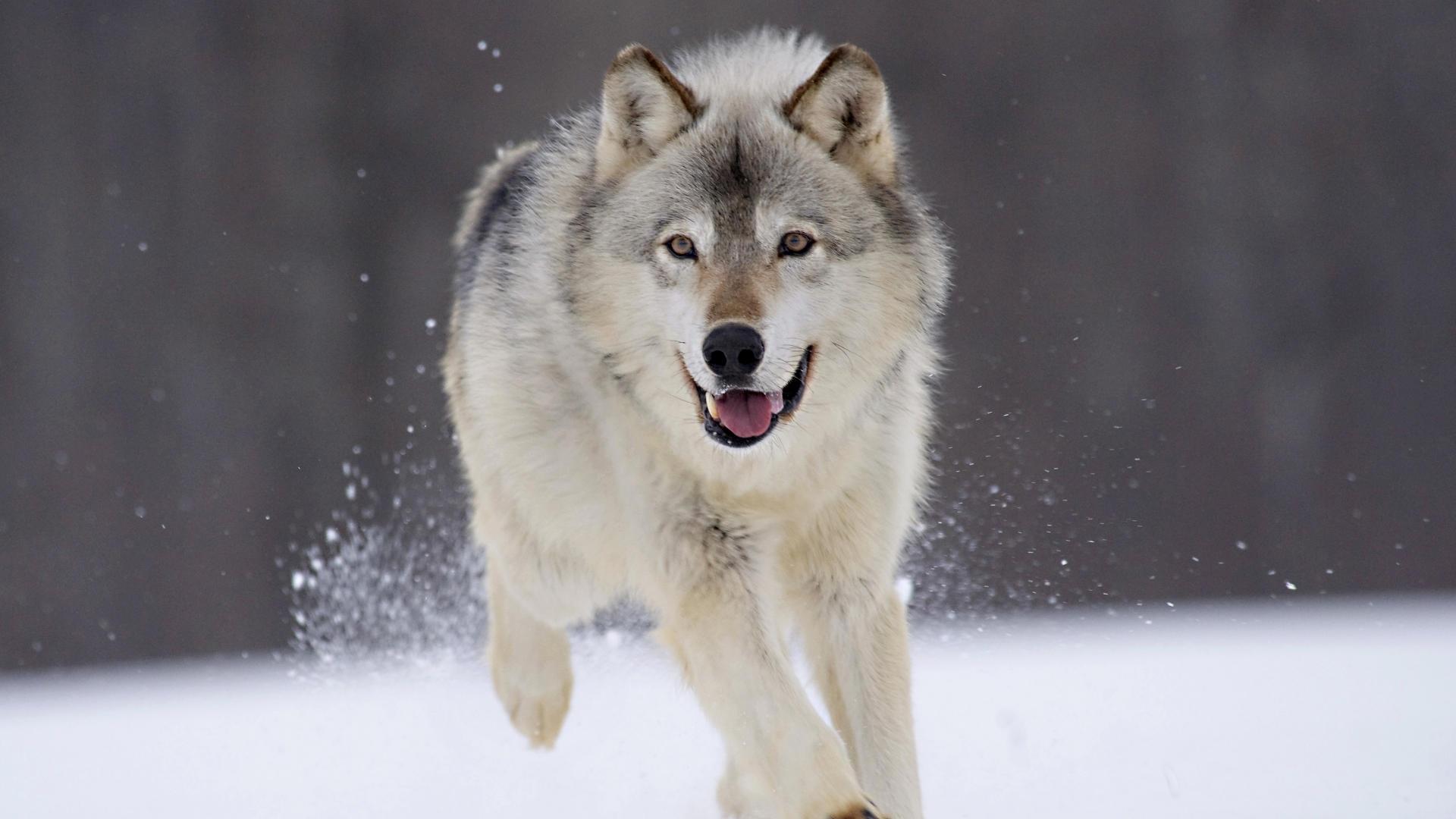 82 скачать обои Волки, Животные - заставки и картинки бесплатно