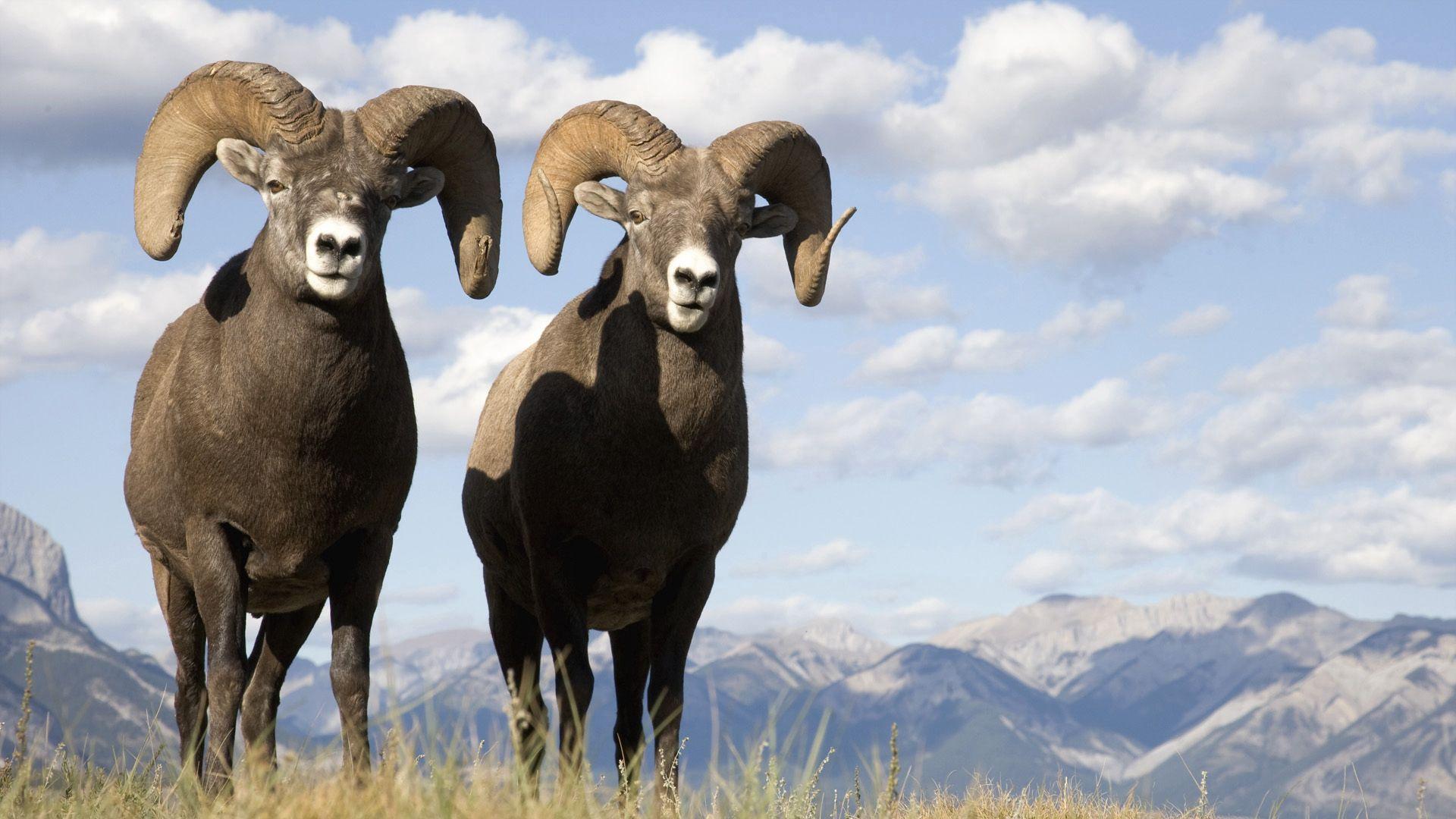 88411 Hintergrundbild herunterladen Tiere, Grass, Mountains, Rams - Bildschirmschoner und Bilder kostenlos