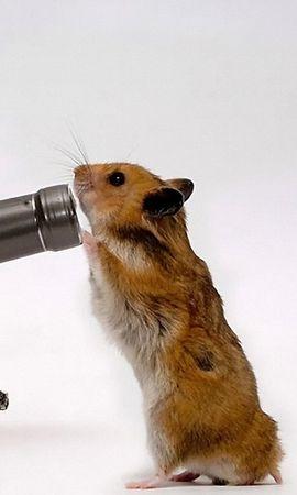 30949 baixar papel de parede Engraçado, Animais, Hamsters - protetores de tela e imagens gratuitamente