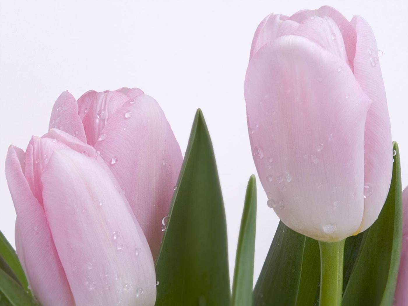 25623 скачать обои Растения, Цветы, Тюльпаны, Капли - заставки и картинки бесплатно