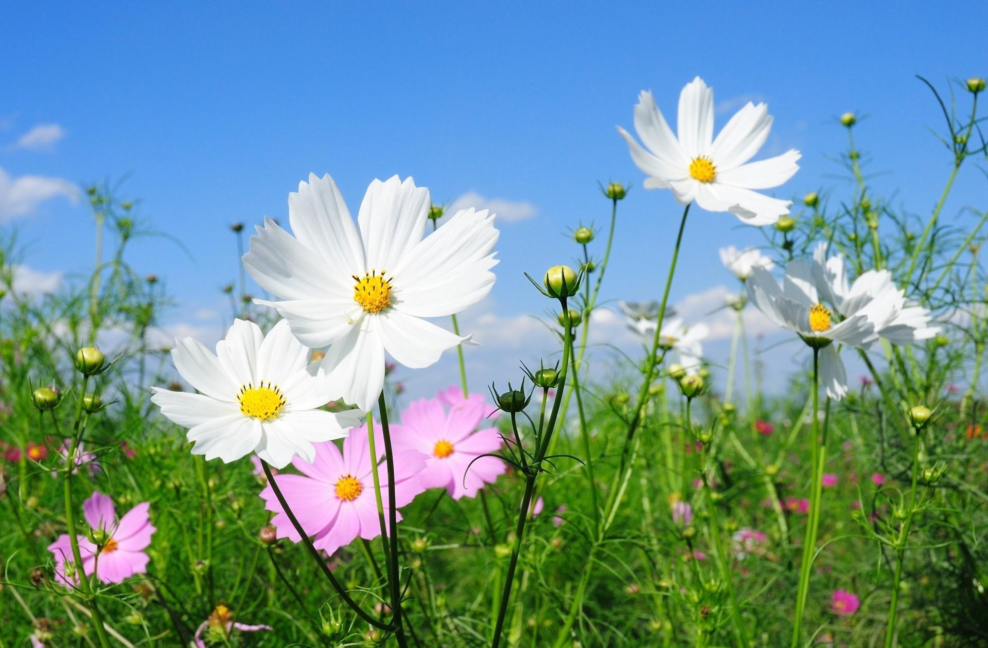 72181 скачать обои Цветы, Зелень, Поляна, Солнечно, Космея - заставки и картинки бесплатно