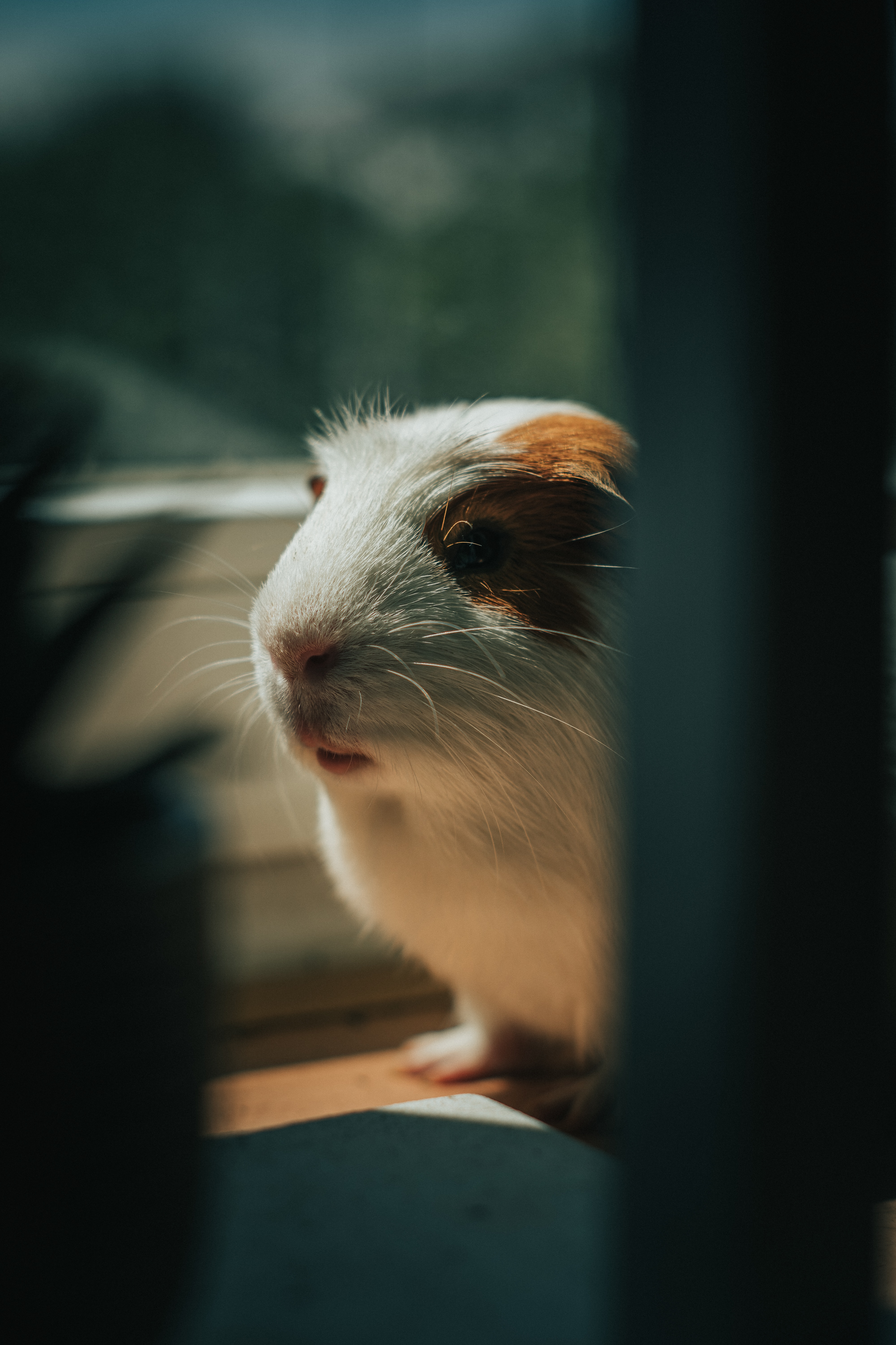 98566 download wallpaper Animals, Guinea Pig, Animal, Nice, Sweetheart, Pet screensavers and pictures for free