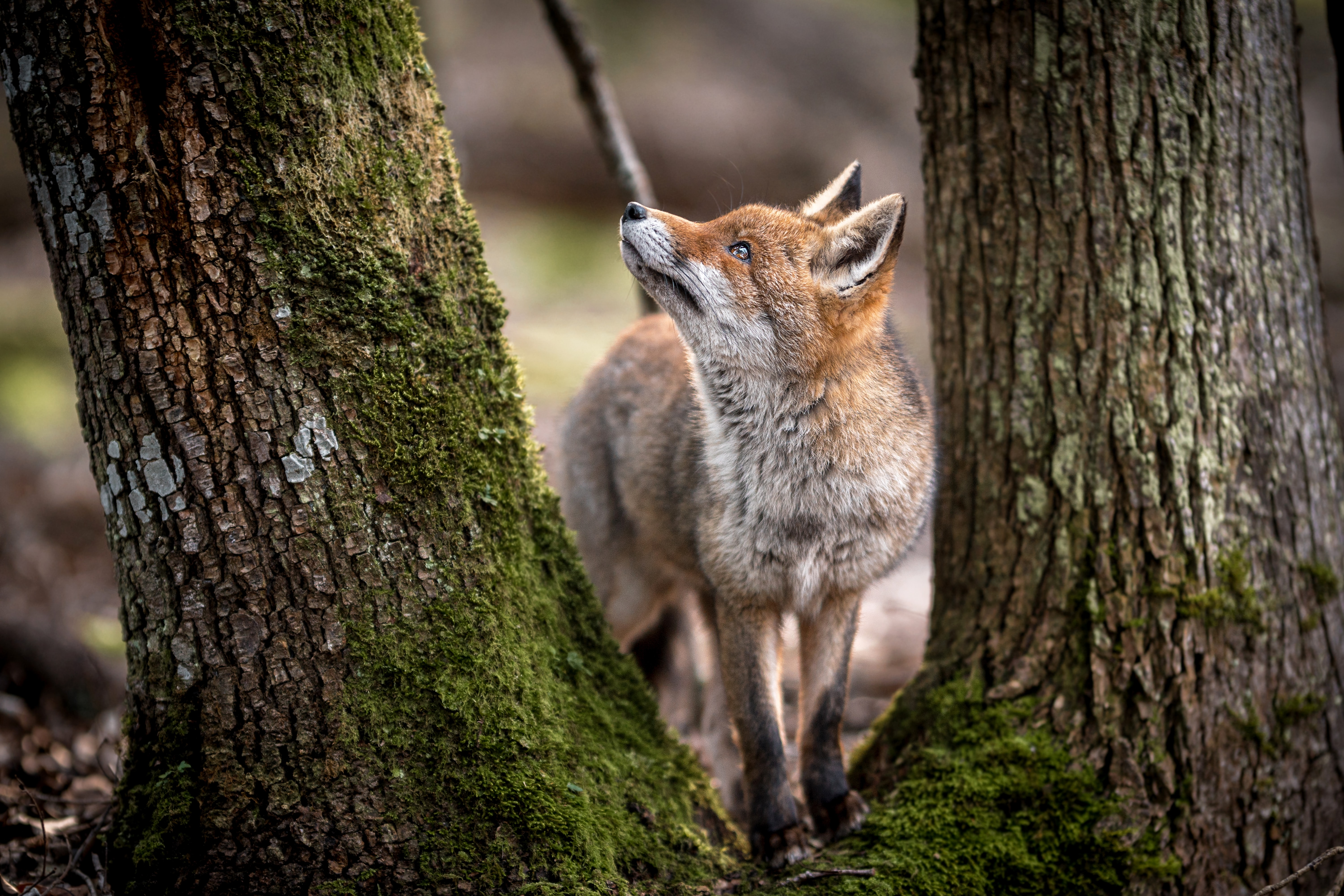 143438 download wallpaper Animals, Fox, Animal, Predator, Sight, Opinion, Trees, Wildlife screensavers and pictures for free