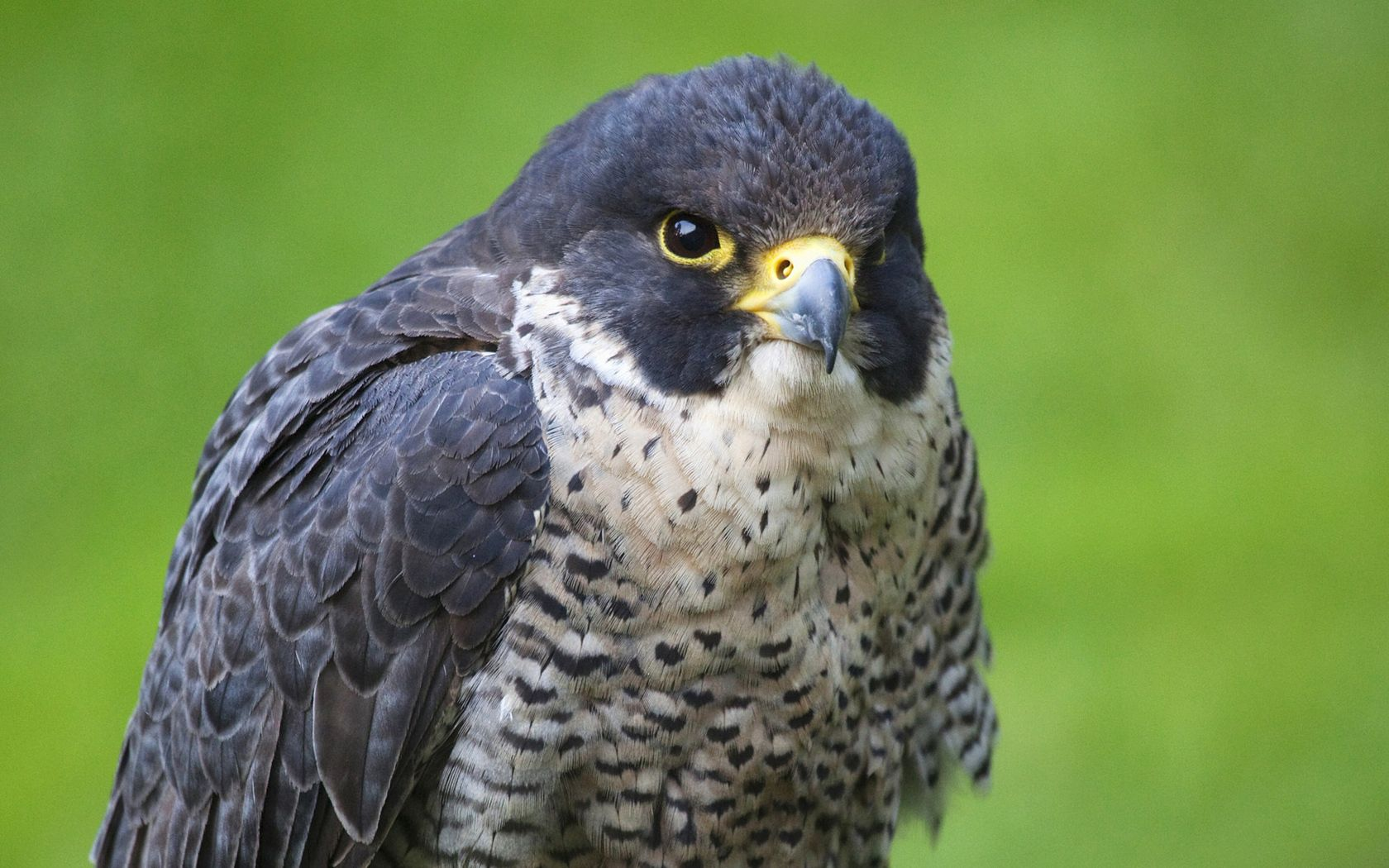 134447 download wallpaper Animals, Bird, Hawk, Predator screensavers and pictures for free