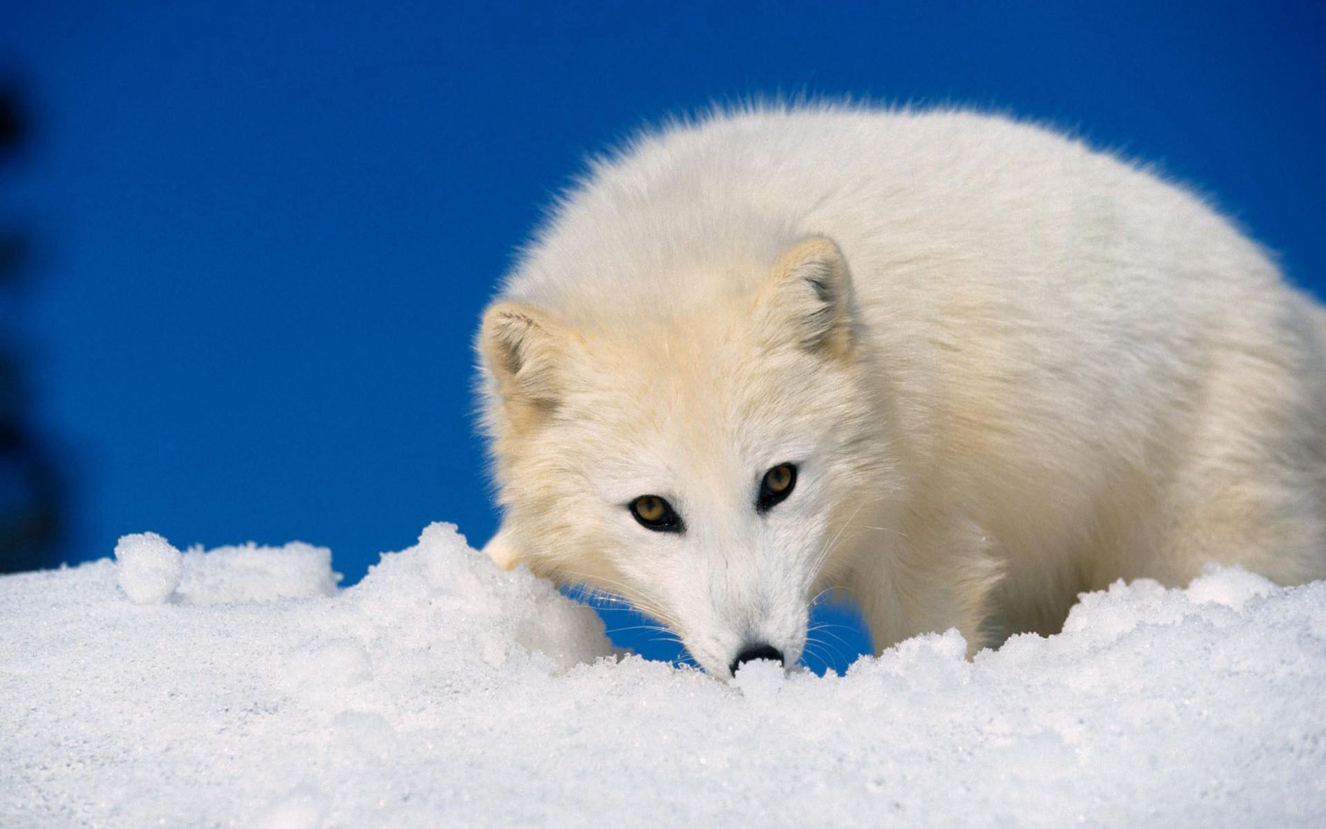 82117 download wallpaper Animals, Arctic Fox, Snow, Hunting, Hunt, Muzzle screensavers and pictures for free