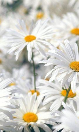 29912 descargar fondo de pantalla Plantas, Flores, Camomila: protectores de pantalla e imágenes gratis