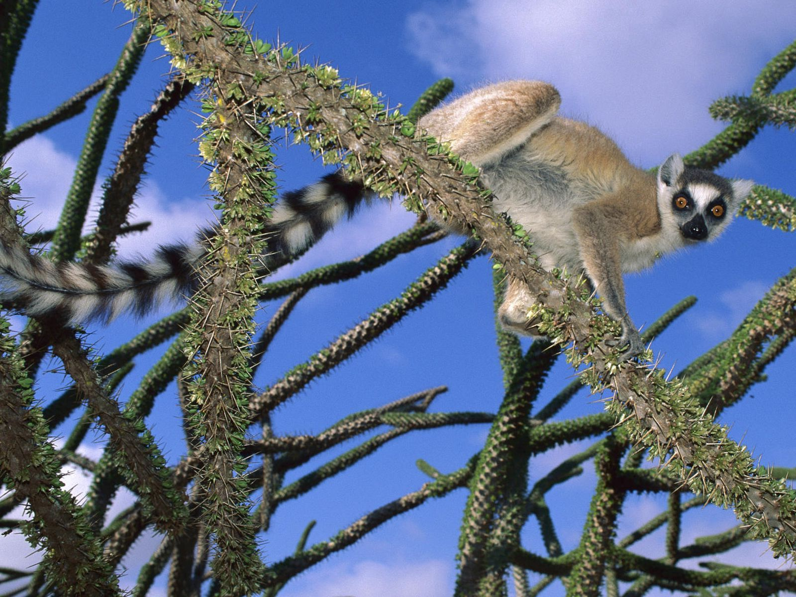 116809 download wallpaper Animals, Lemur, Trees, Climb, Nice, Sweetheart, Striped screensavers and pictures for free