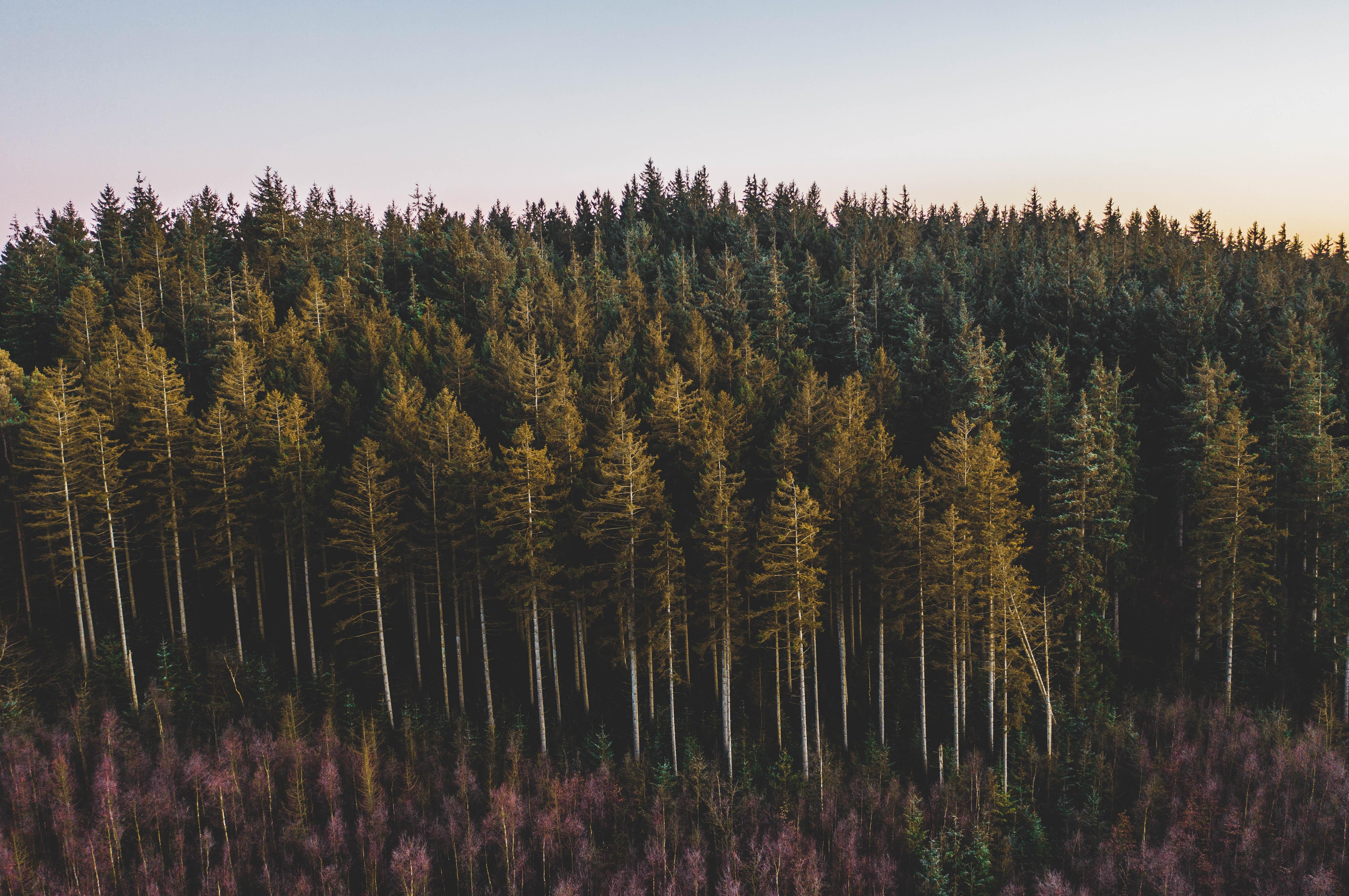 58715 скачать обои Лес, Хвойный, Деревья, Природа, Сосны - заставки и картинки бесплатно