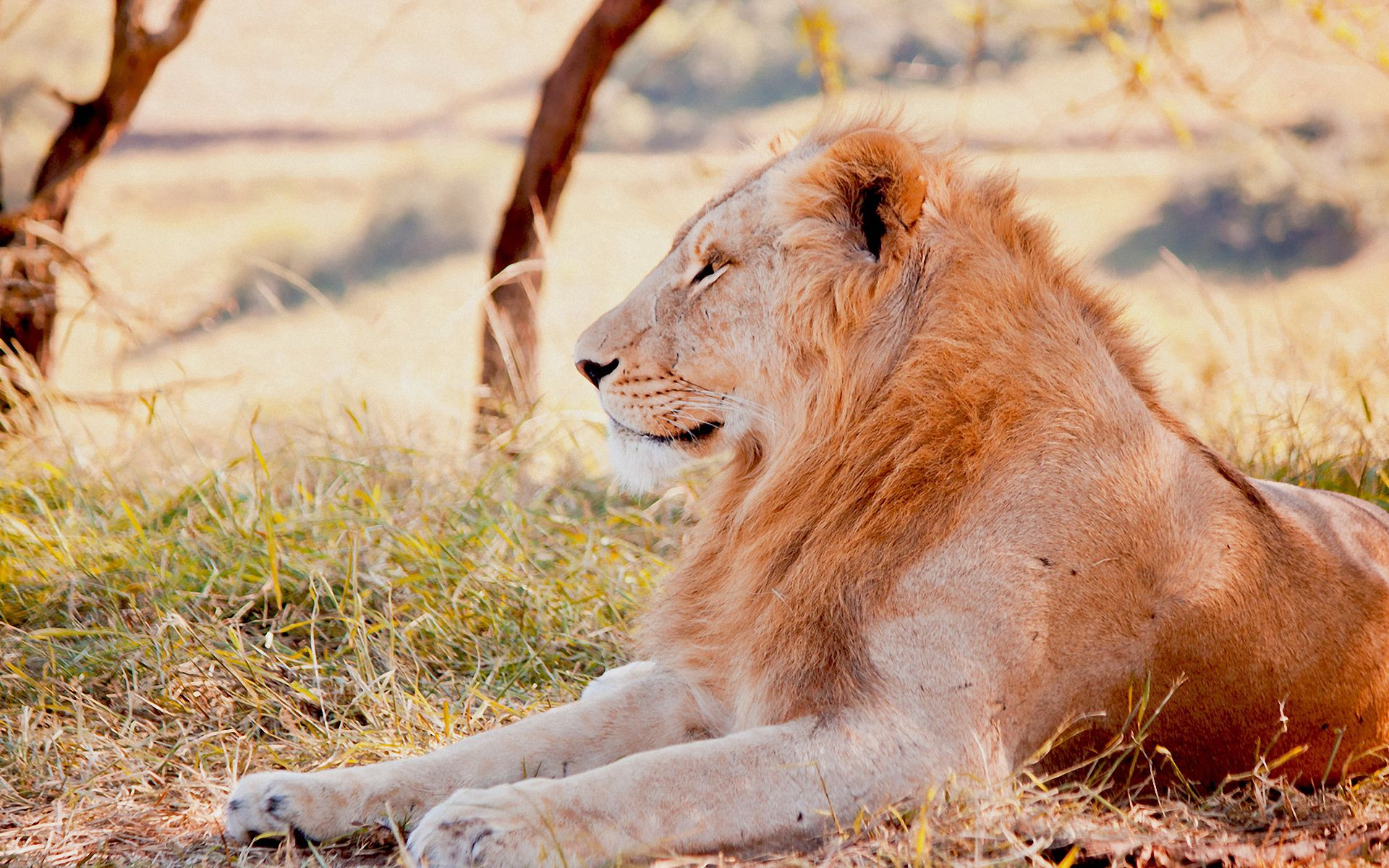 56751 download wallpaper Animals, Lion, Predator, To Lie Down, Lie, Grass, Field screensavers and pictures for free