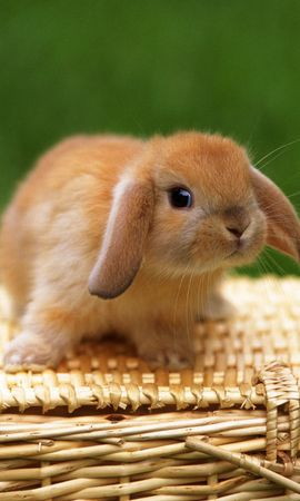 21485 download wallpaper Animals, Rabbits screensavers and pictures for free