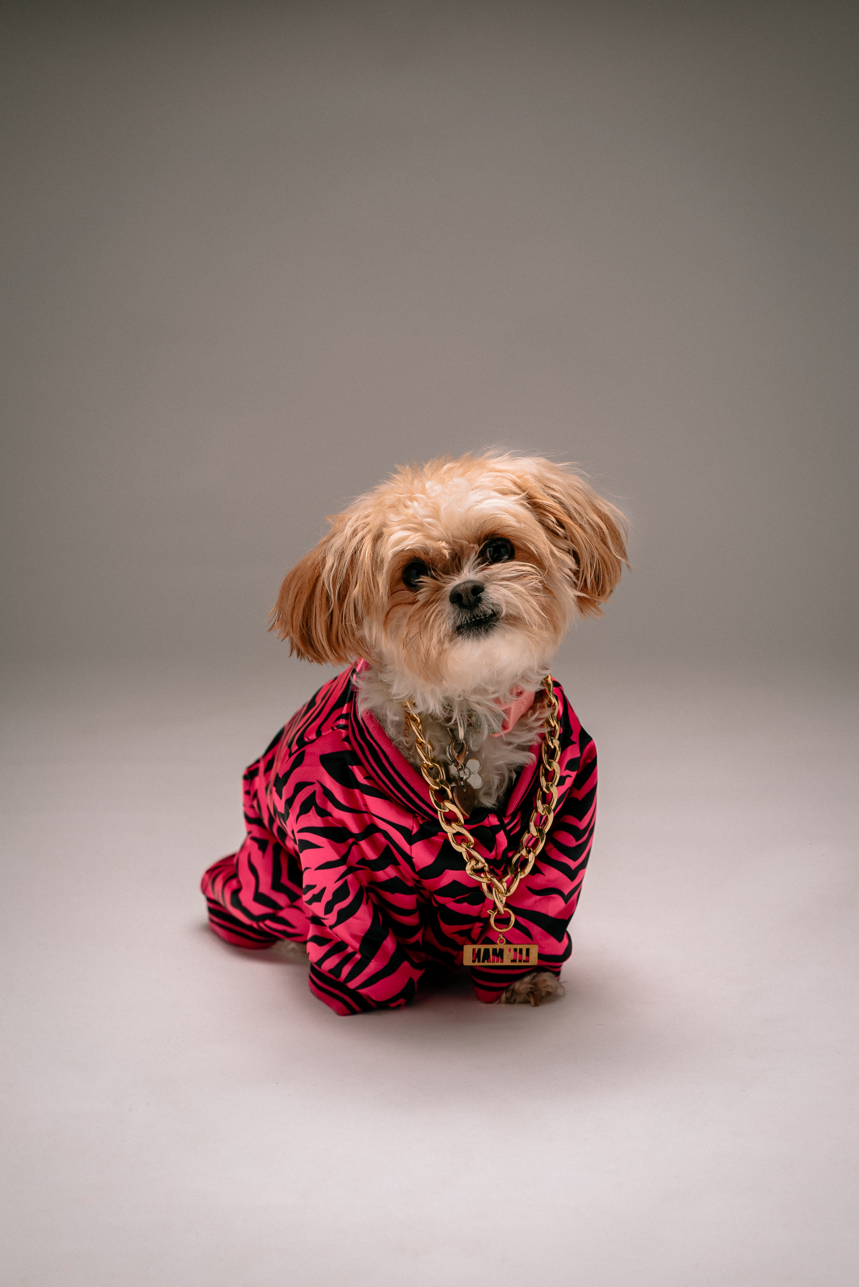 70609 download wallpaper Animals, Shih Tzu, Dog, Style, Chain, Pet screensavers and pictures for free