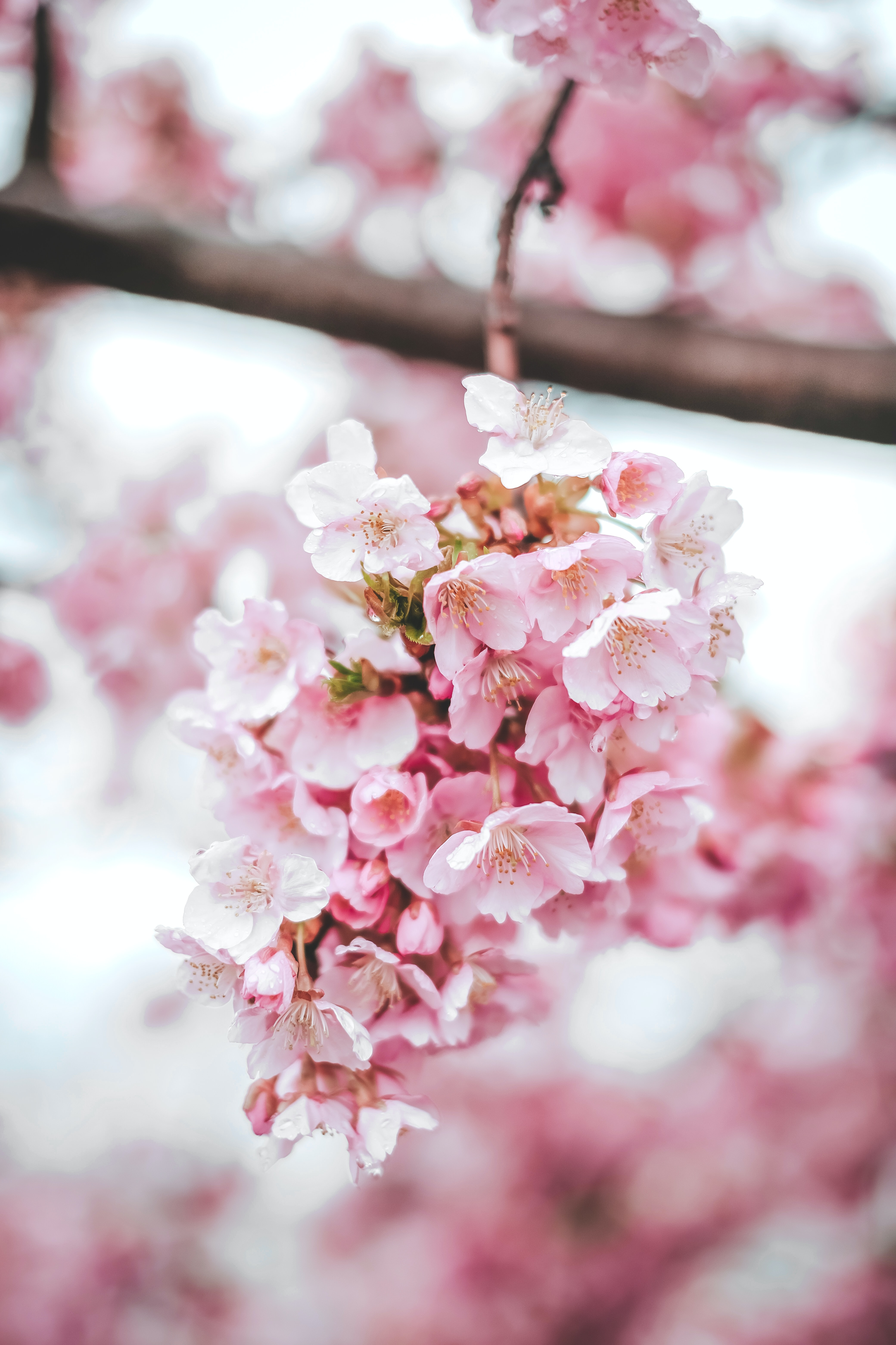 82071 Screensavers and Wallpapers Sakura for phone. Download Flowers, Pink, Sakura, Macro, Bloom, Flowering pictures for free