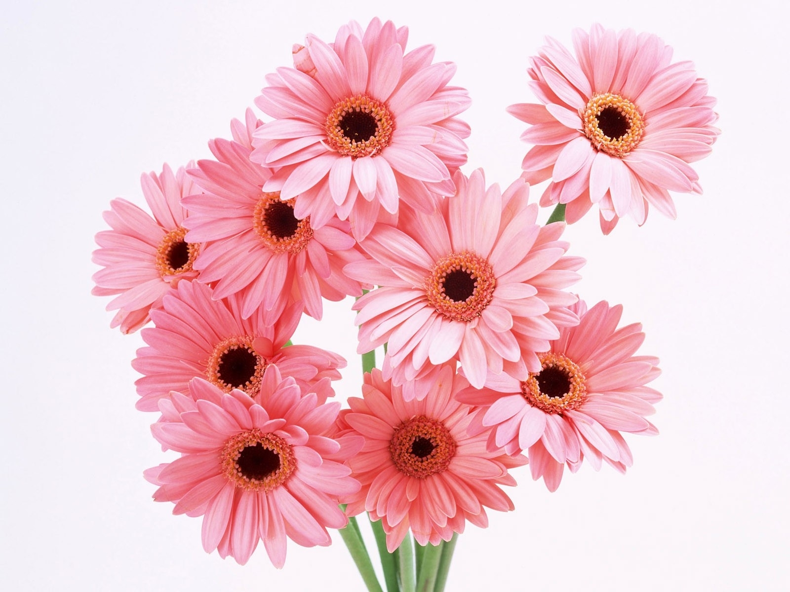 7814 скачать обои Растения, Цветы, Герберы - заставки и картинки бесплатно